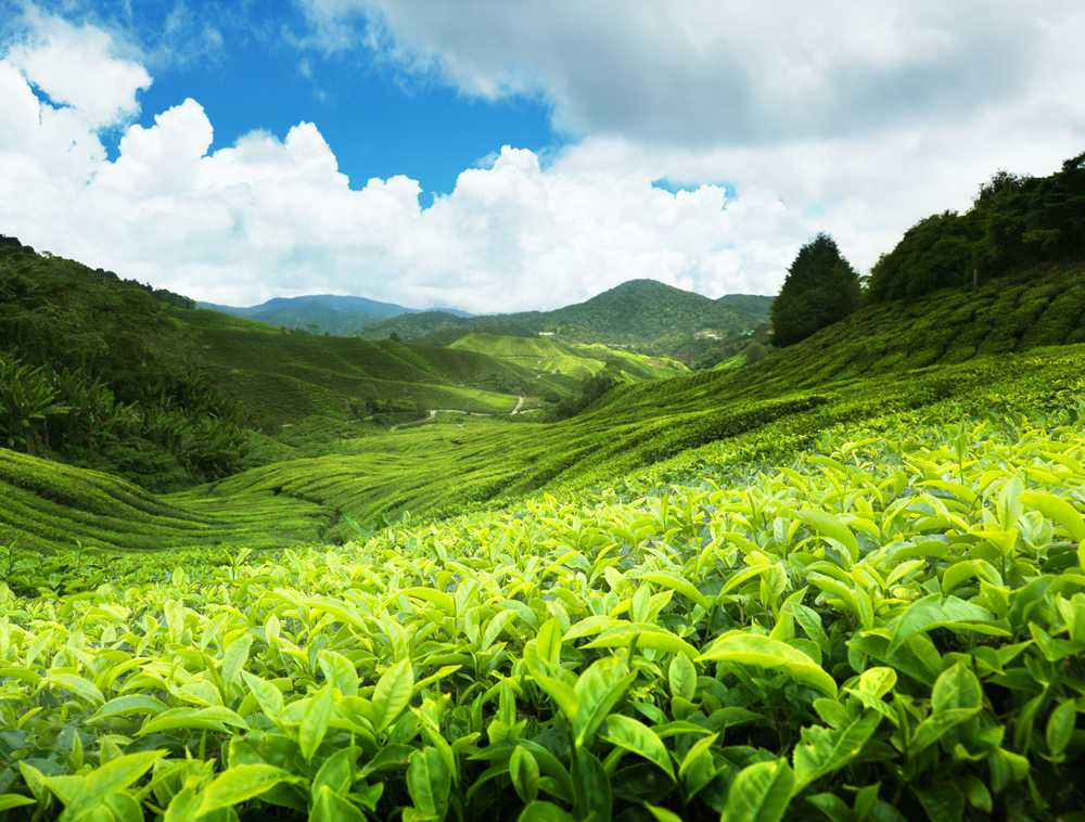 Tea any Sri Lanka