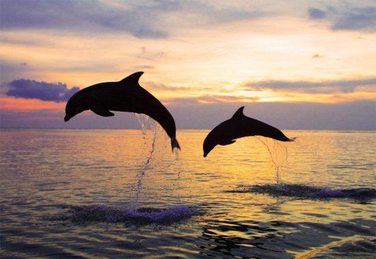 Dolphins ao Amed